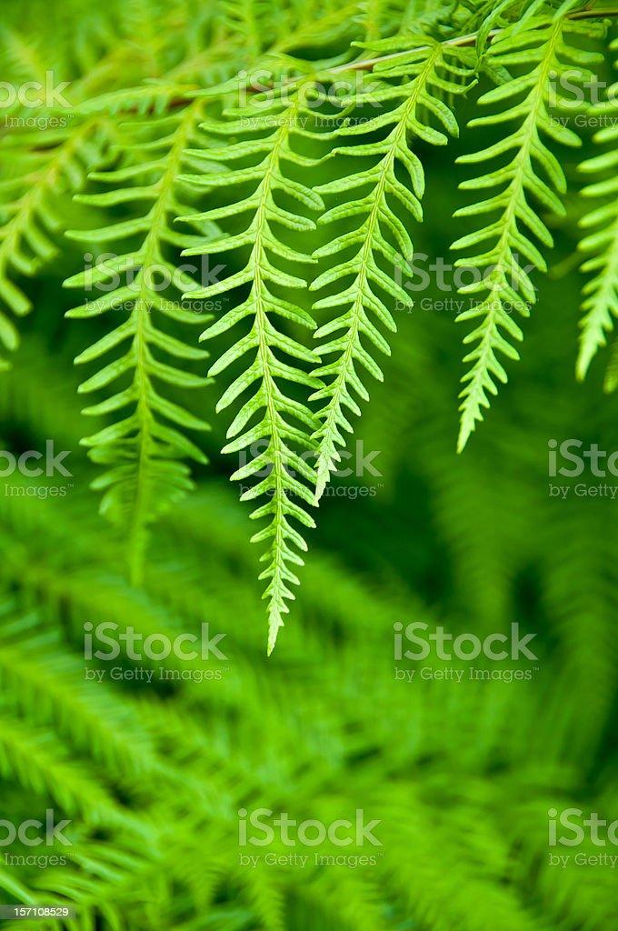 fern leaves foto de stock libre de derechos