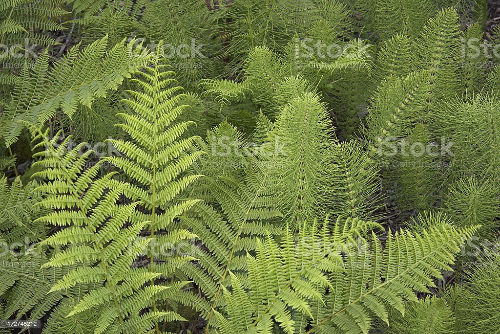 Fern Leaves royalty-free stock photo
