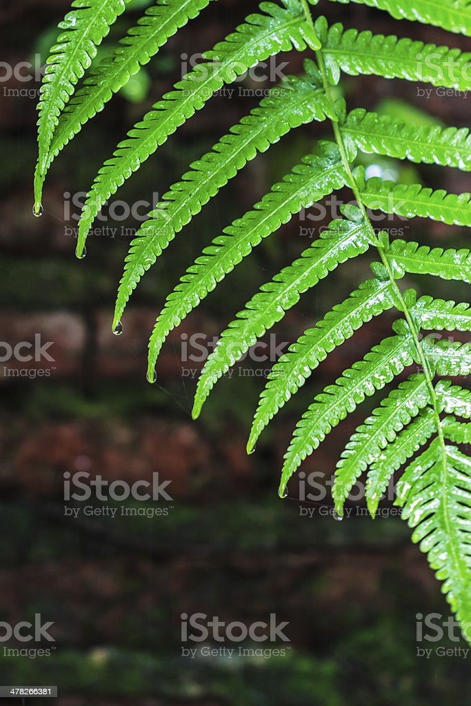 Fern Leaves with Water Droplets, Closeup royalty-free stock photo