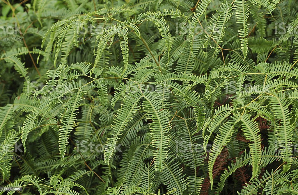 Fern Leaves4 stock photo