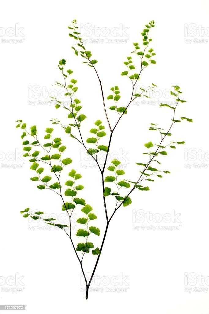 fern, maidenhair royalty-free stock photo