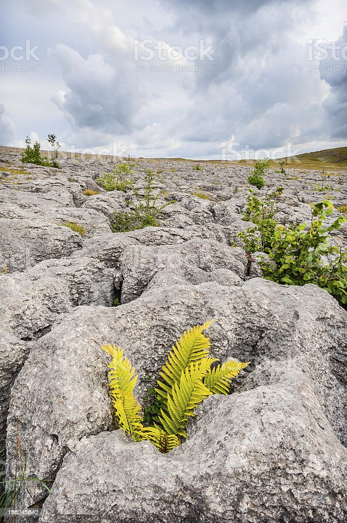 Fern nestles in clints  grikes Asby Scar limestone pavement Cumb stock photo