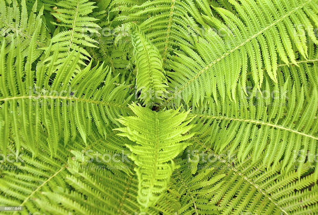 Fern ornament royalty-free stock photo