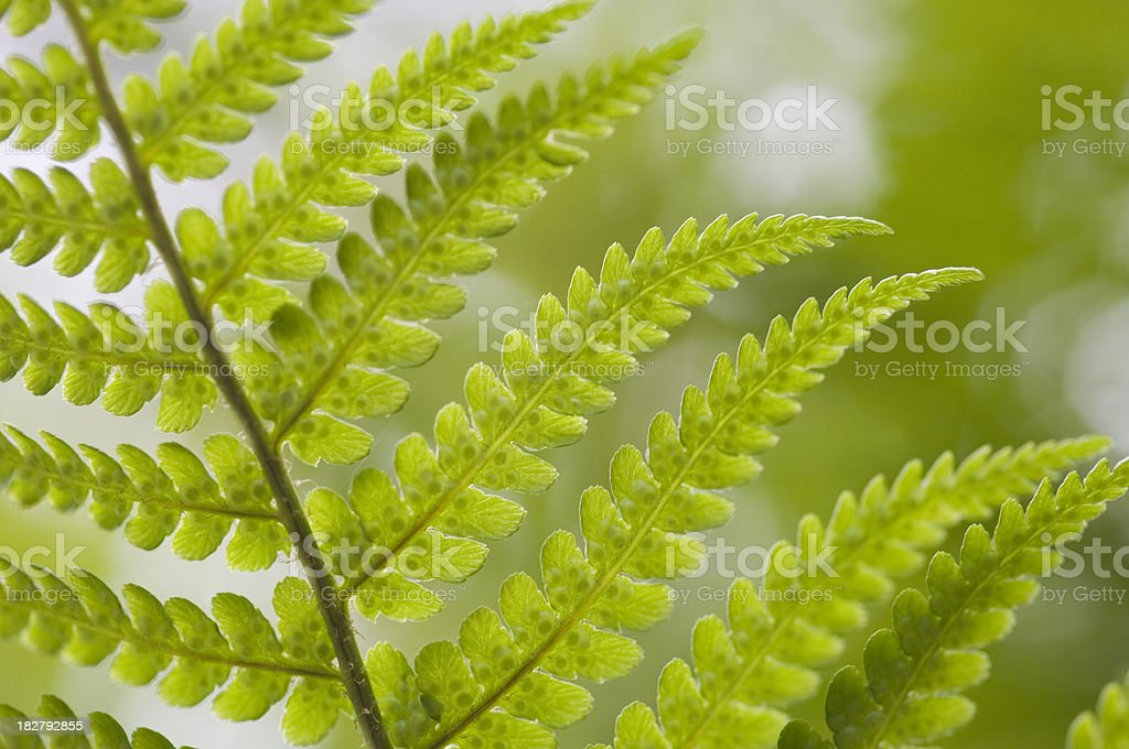 Fern pattern royalty-free stock photo