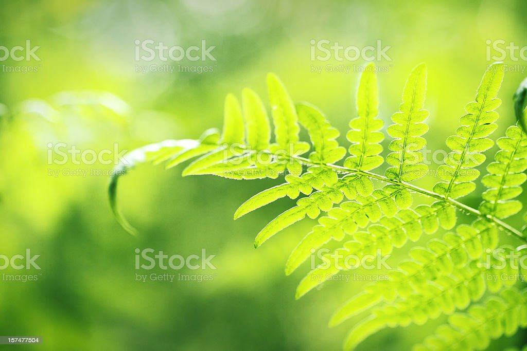 fern royalty-free stock photo