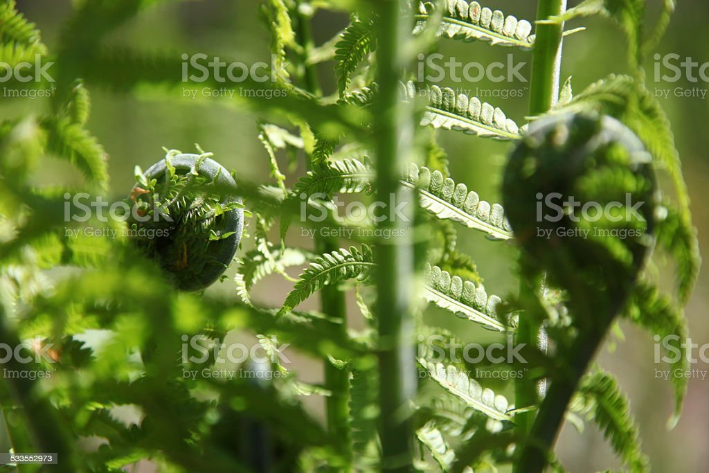 Fern plant for fiddleheads in late spring stock photo