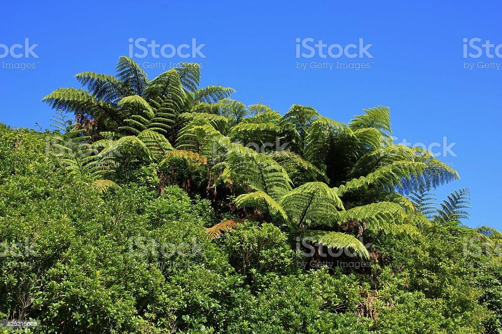 Fern trees in New Zealand stock photo