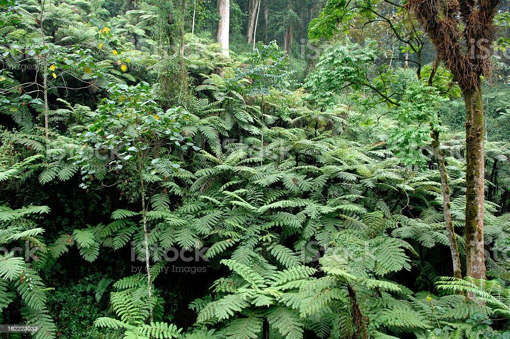 Fern trees within Nyungwe rainforest - Rwanda stock photo