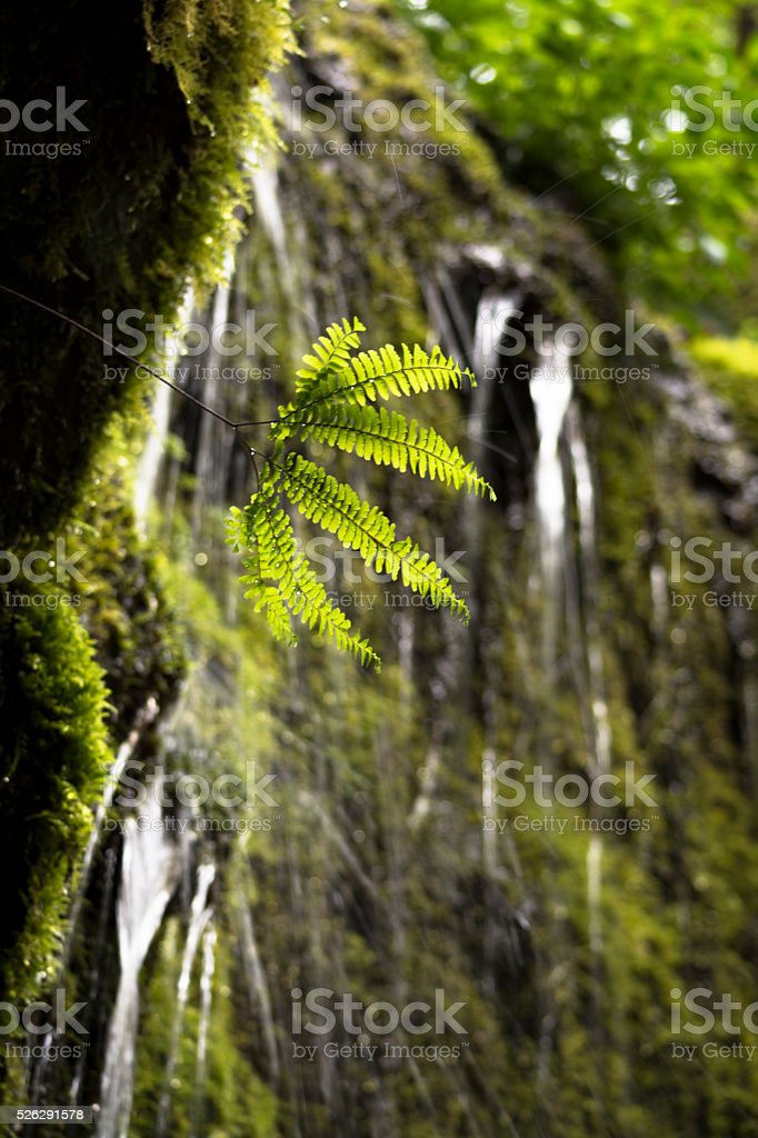 Fern Trickle stock photo