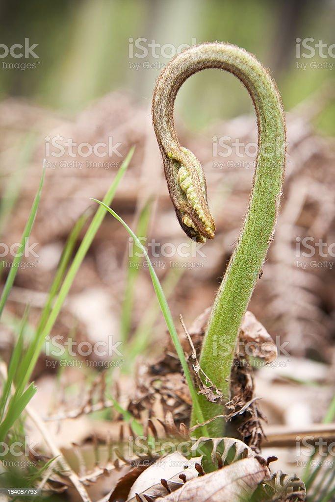 Fern Unrolling Upwards in Spring royalty-free stock photo
