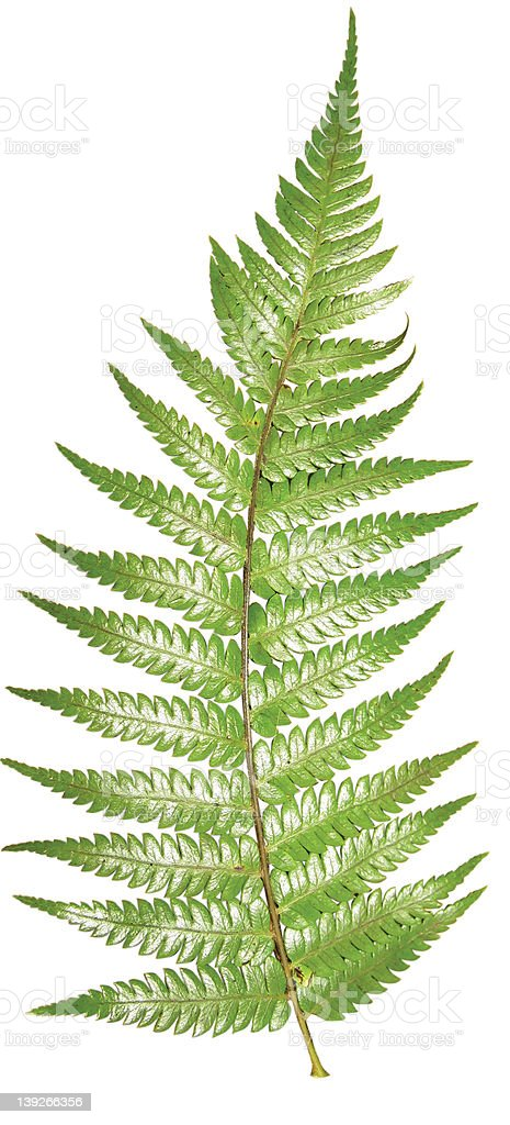 Fern with clipping path stock photo