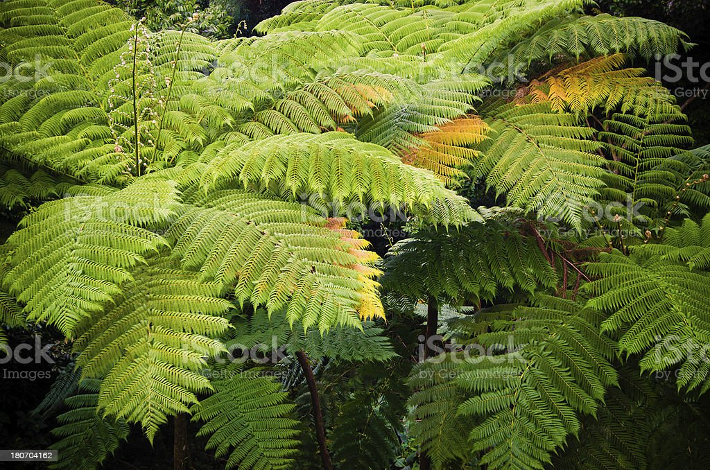 Ferns at El Yunque National Forest in Puerto Rico royalty-free stock photo