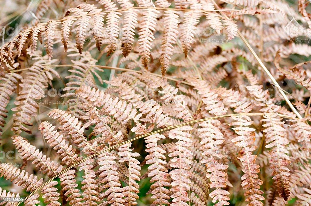 Ferns: Bracken (Pteridium aquilinum) stock photo