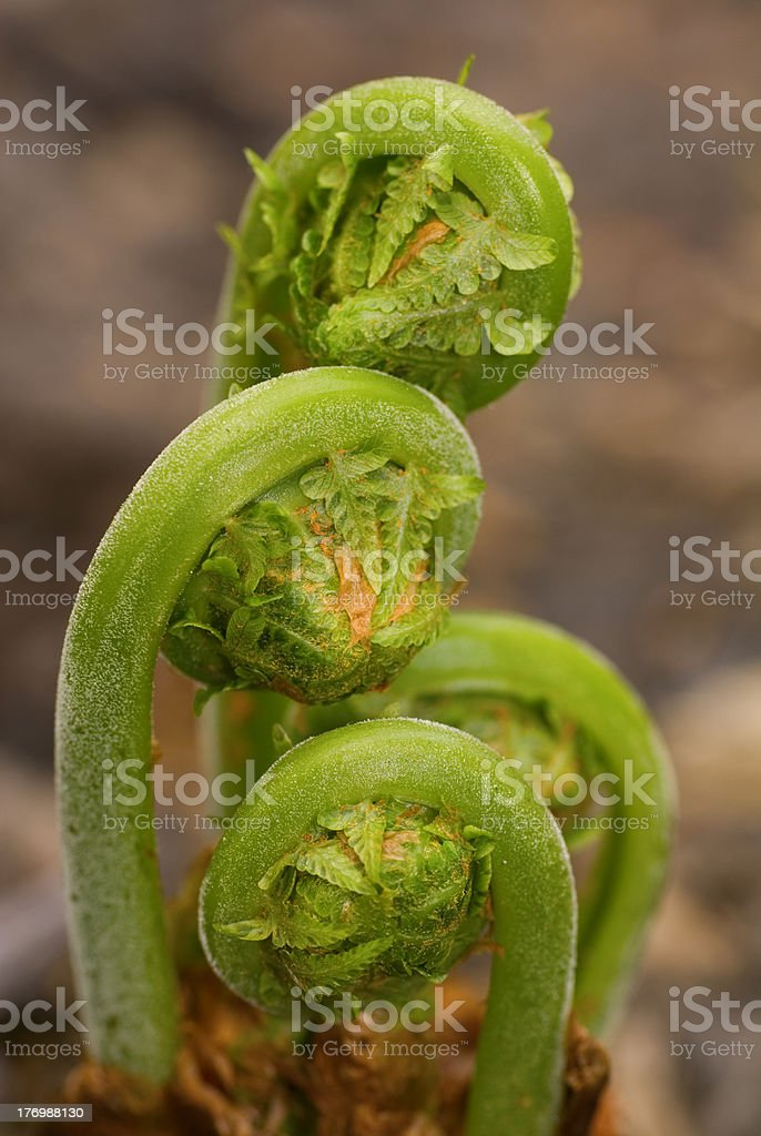 Ferns Emerging in Spring 2 stock photo