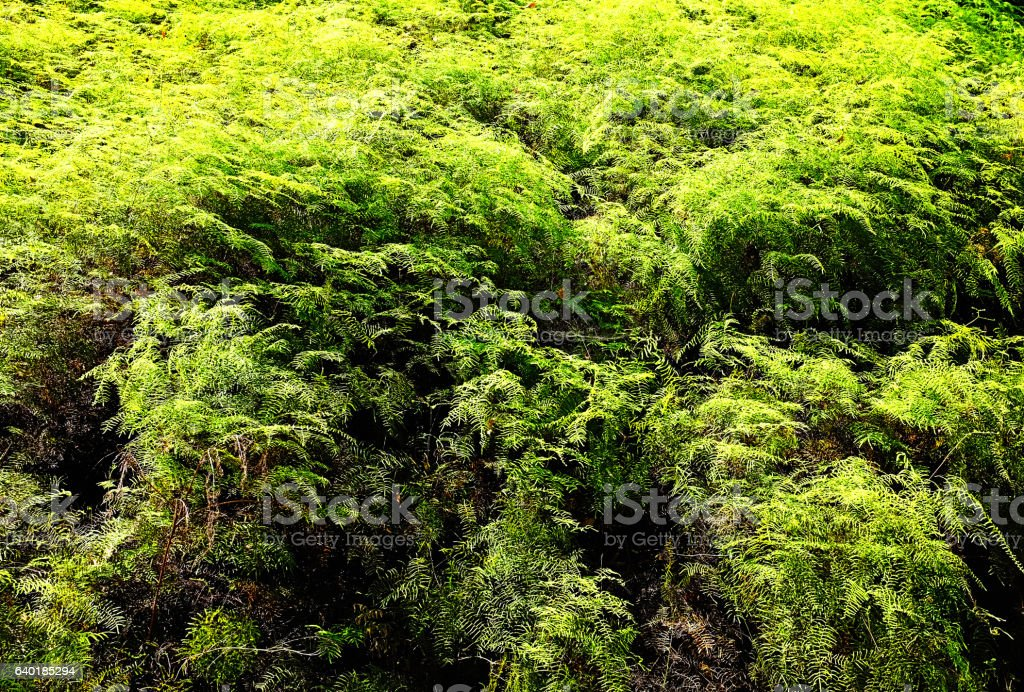 Ferns flourishing in the wild form a forest stock photo