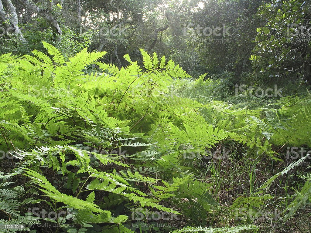 Ferns, fog and a spot of sun royalty-free stock photo