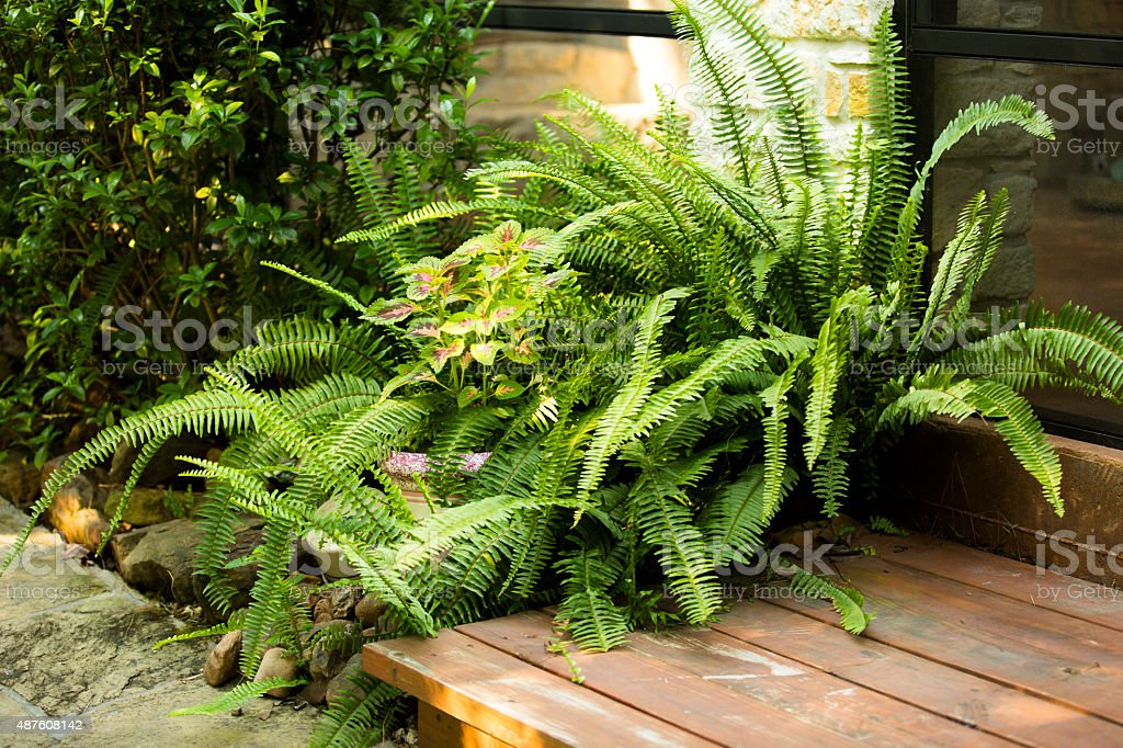Ferns growing outdoors beside porch, deck of home. stock photo