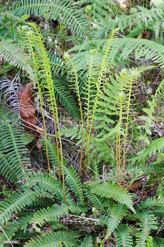 Ferns: Hard Fern (Blechnum spicant) stock photo