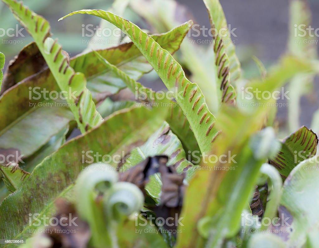 Ferns: Hartstongue (Phyllitis scolopendium) royalty-free stock photo