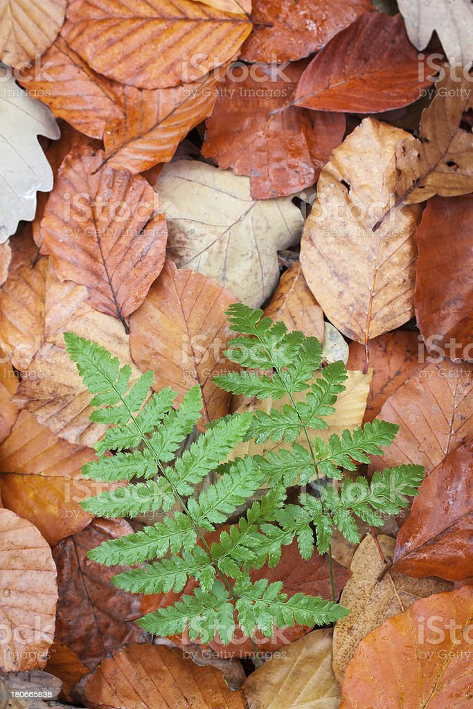 ferns in beech leaves stock photo
