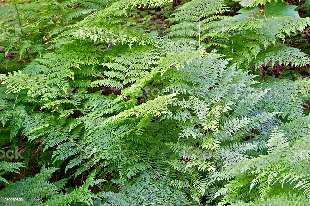Ferns in Mt Revelstoke National Park stock photo