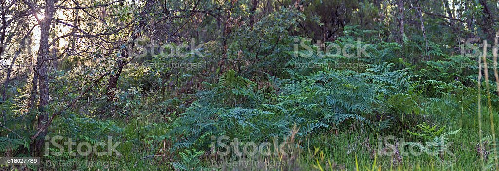 Ferns in Oak Grove Colony -  Helechos en Robledal stock photo