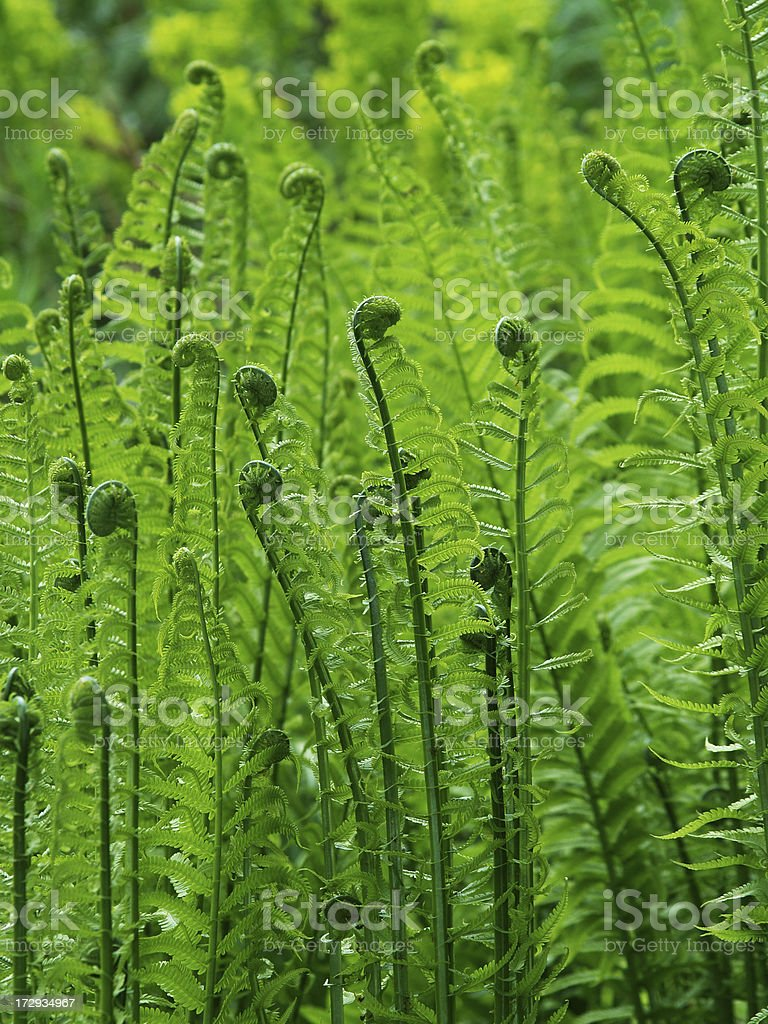 Ferns in Spring stock photo