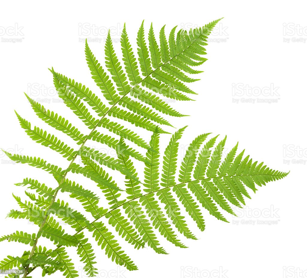 ferns isolated on white, cutout stock photo