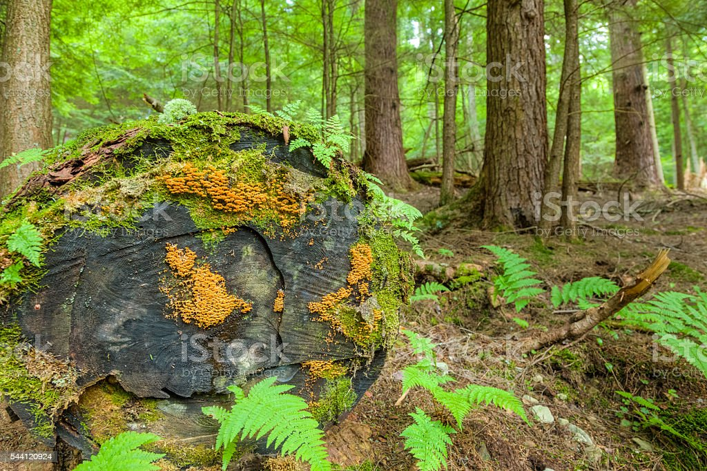 Ferns, Moss and an Old Growth Tree in Ancient Forest stock photo