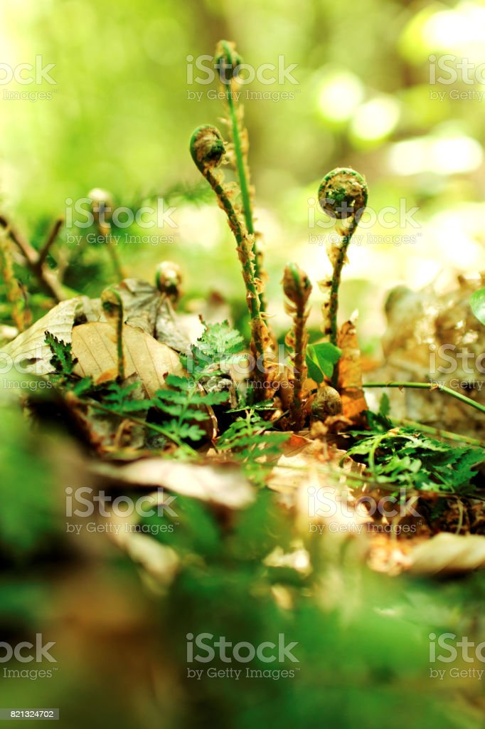 Ferns on Forest Floor stock photo