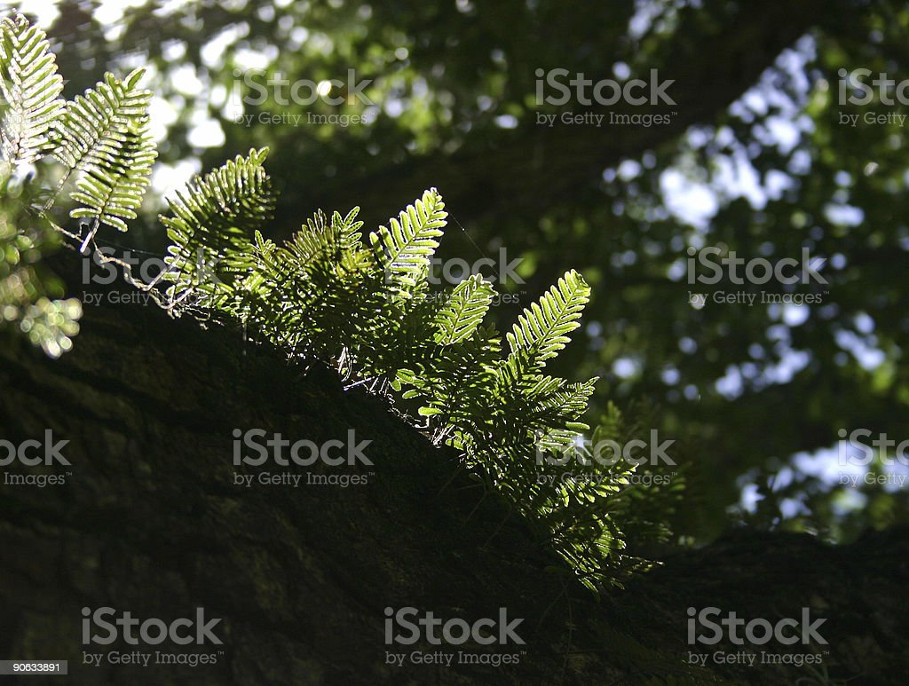 Ferns on tree trunk royalty-free stock photo