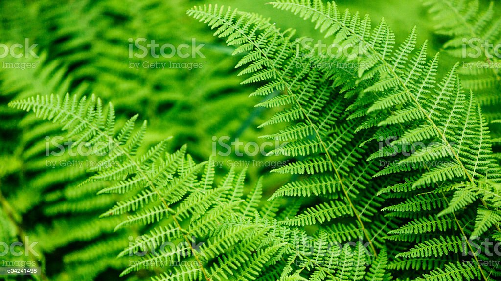 Image result for fern