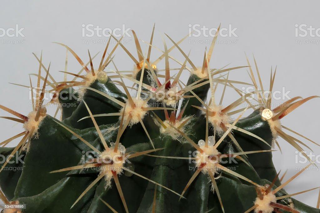 Ferocactus spikes stock photo