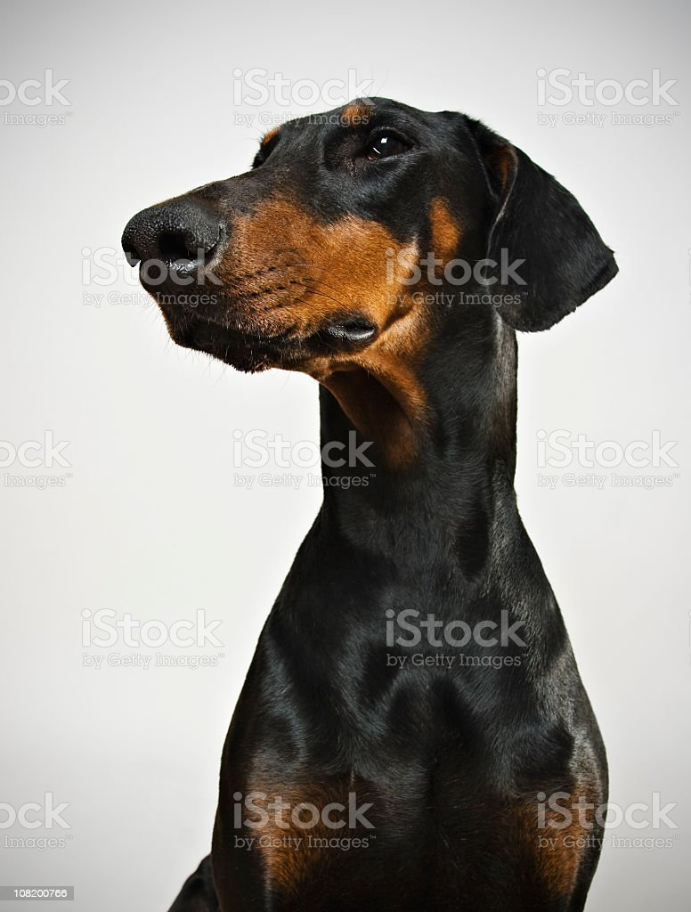 Ferocious dobermann. stock photo