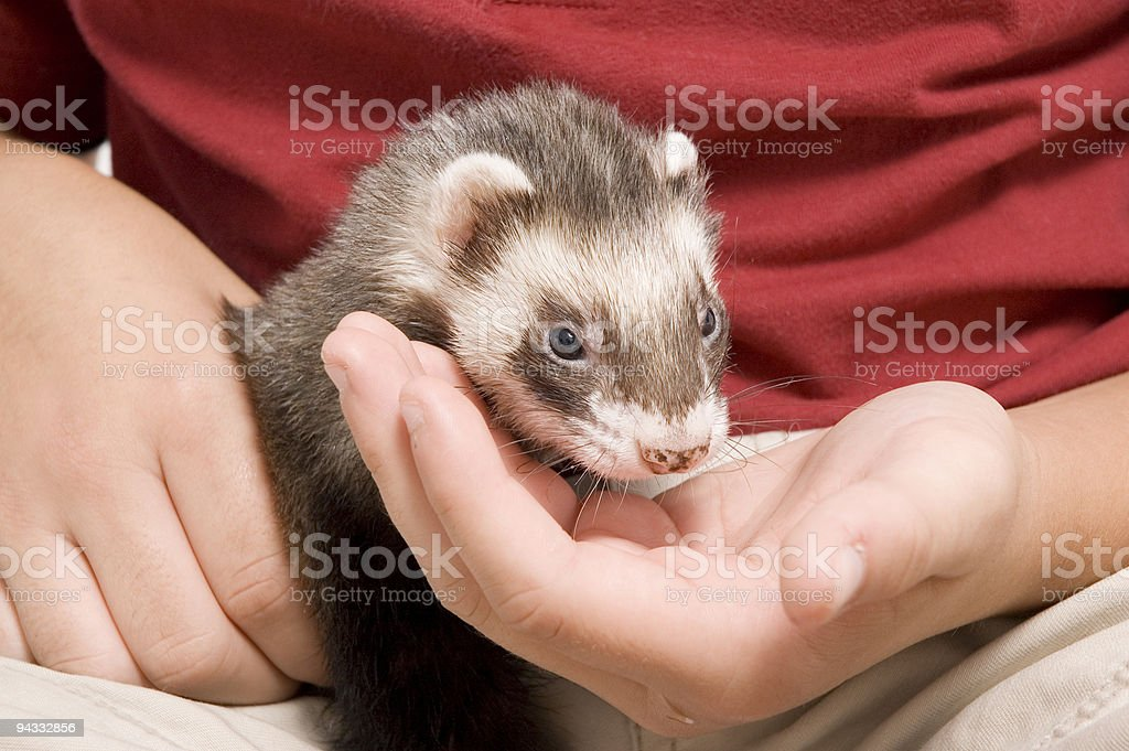 Ferret and Boy stock photo