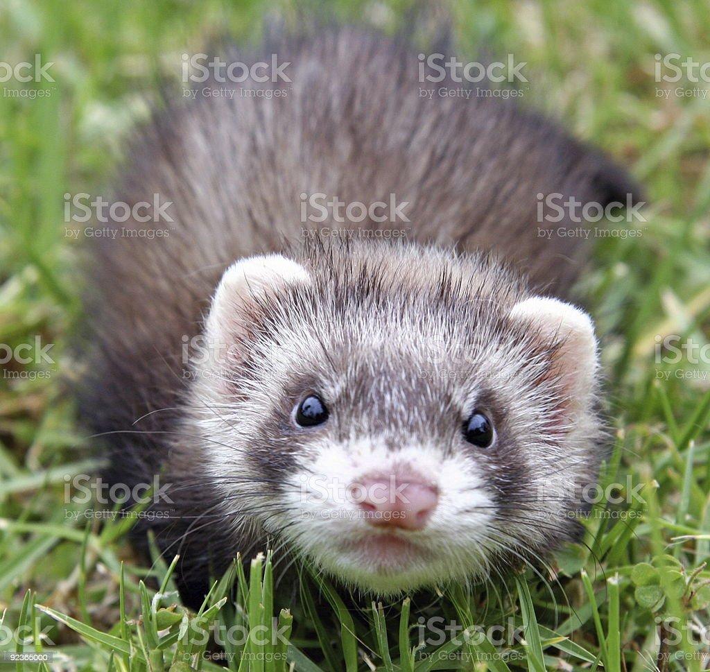 Ferret Face stock photo