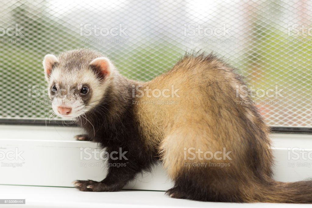 Ferret for 5 months sits on a window sill near a window equipped with a metal mesh stock photo