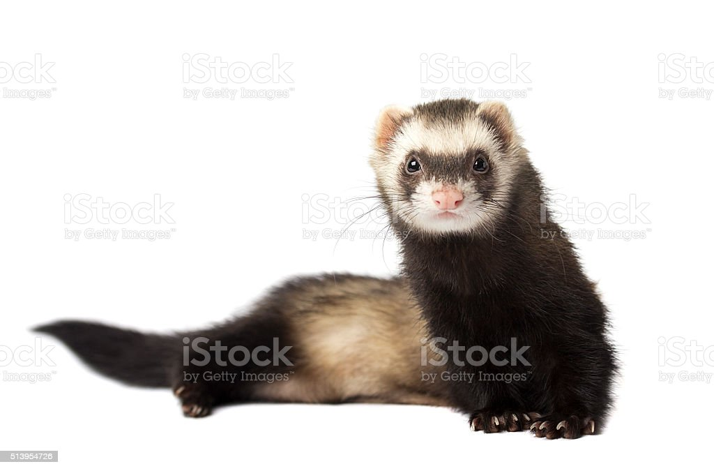Ferret in full growth lies isolated stock photo