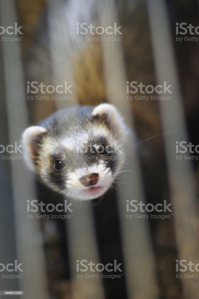 Ferret in the cage stock photo