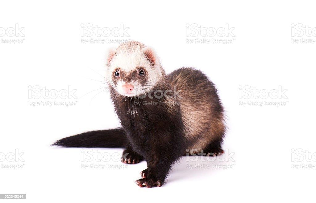 Ferret (mustela) isolated on white stock photo