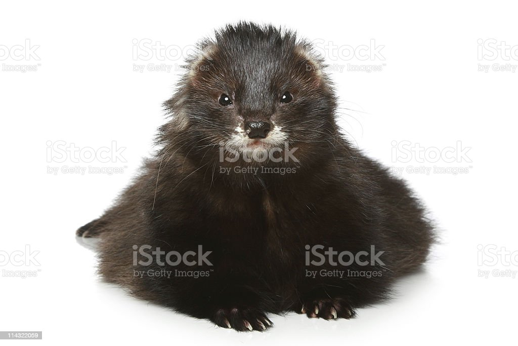 Ferret lying on a white background stock photo