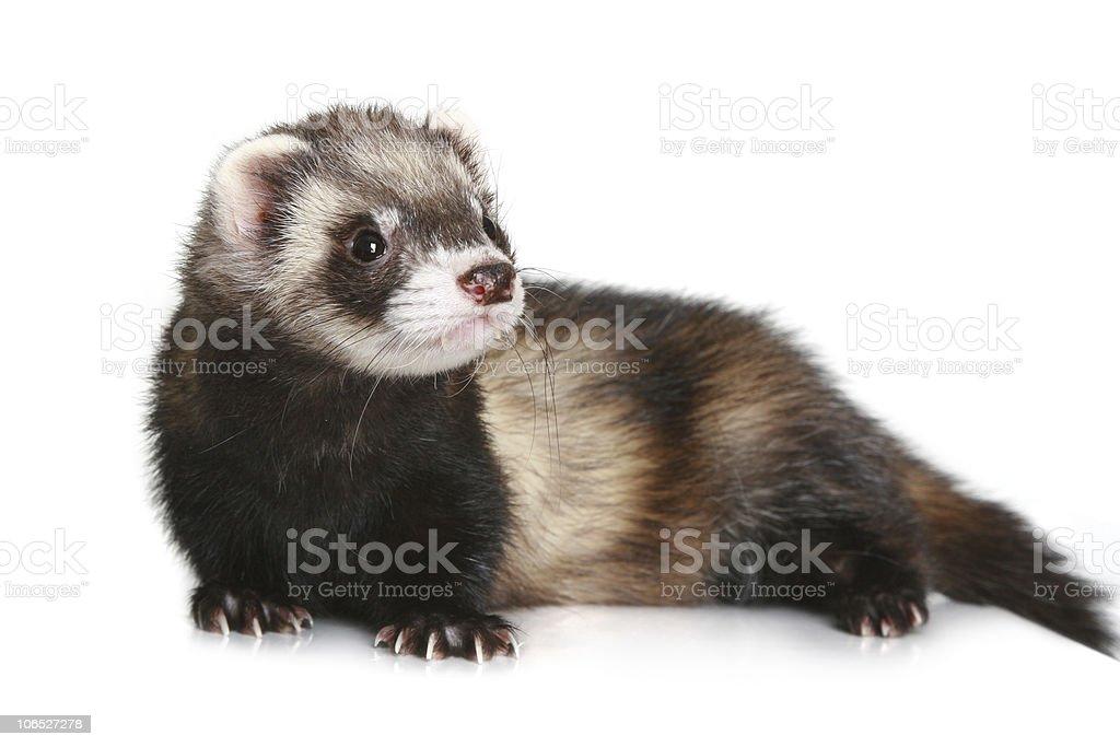 Ferret Mustela putorius furo on white background stock photo