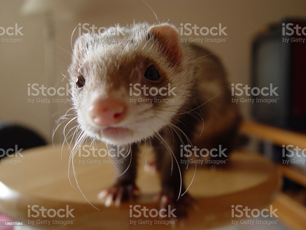 A Ferret Named Sugar royalty-free stock photo