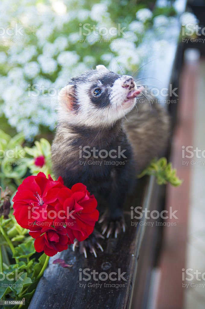 Ferret on a fence stock photo