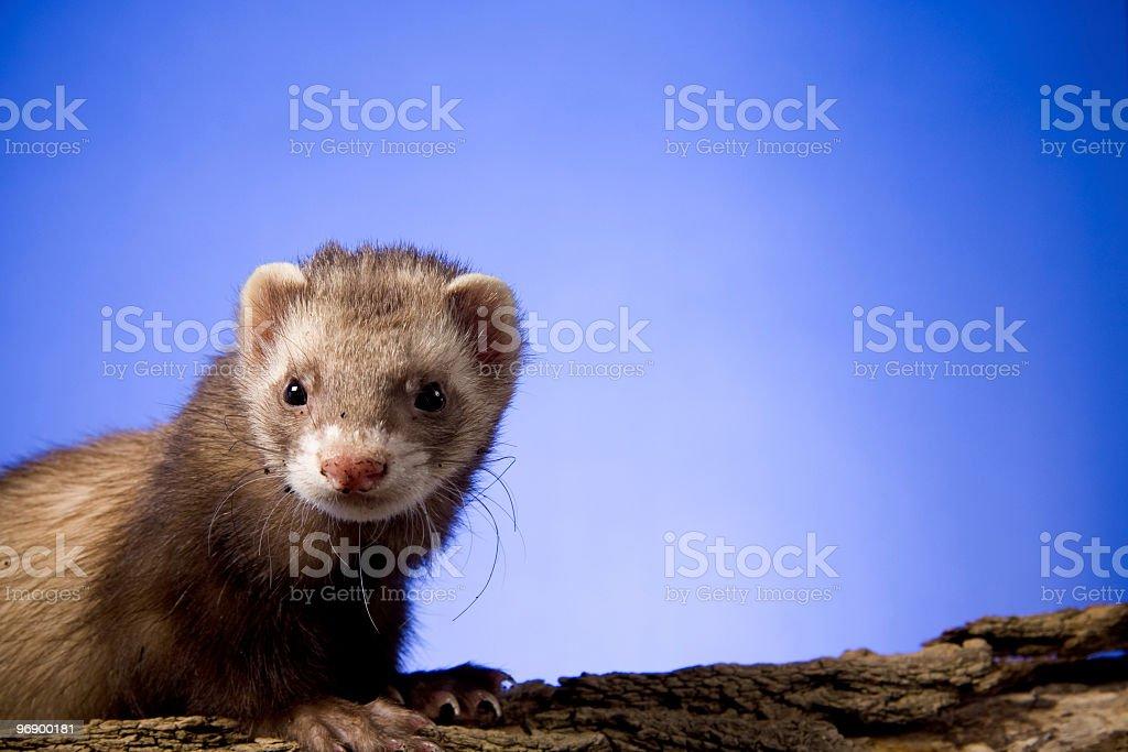 Ferret on a Log stock photo