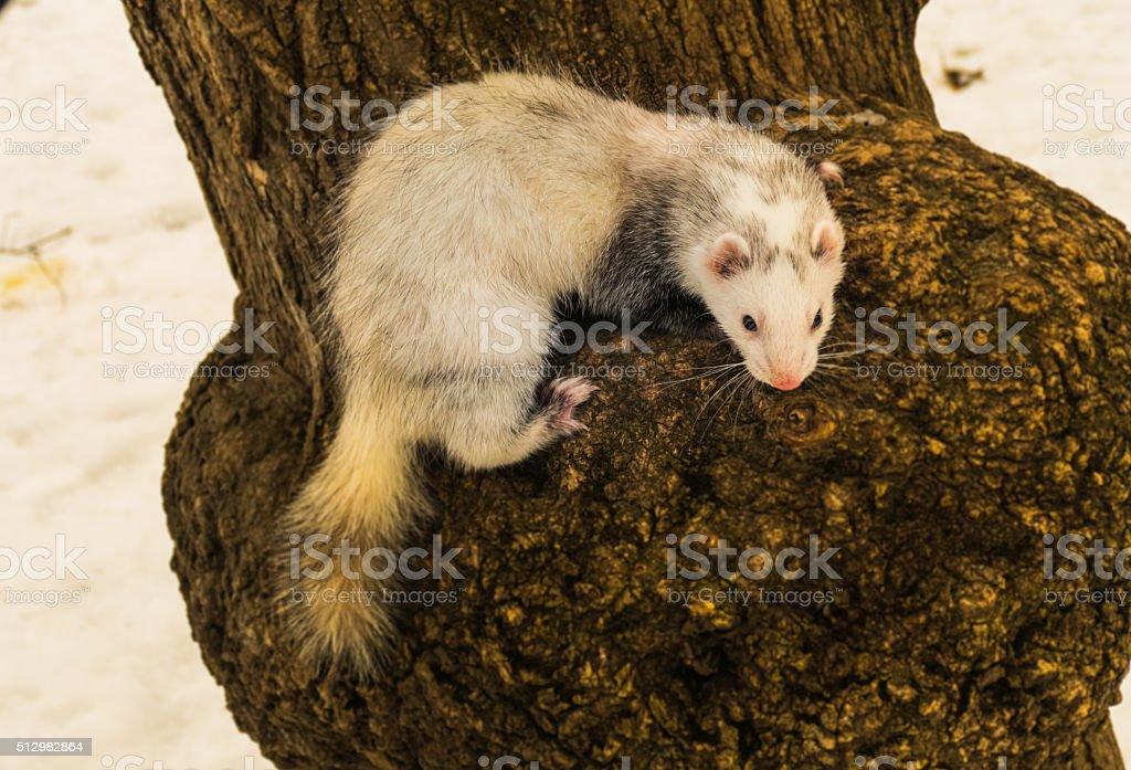 Ferret on a tree stock photo