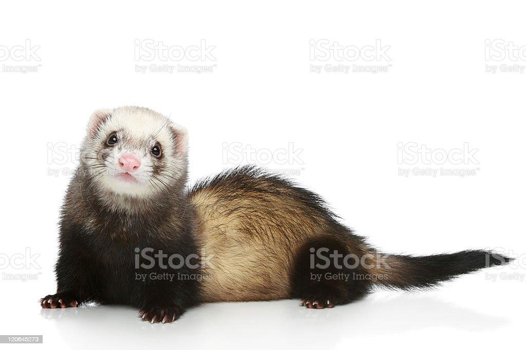 Ferret on a white background stock photo