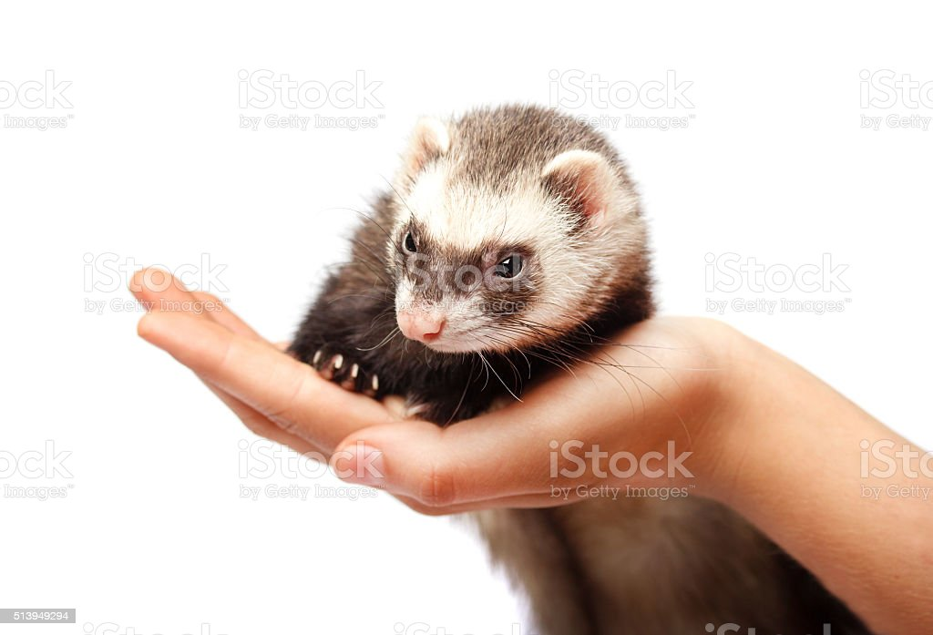 Ferret on hand isolated stock photo