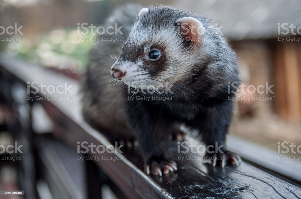 Ferret outside stock photo