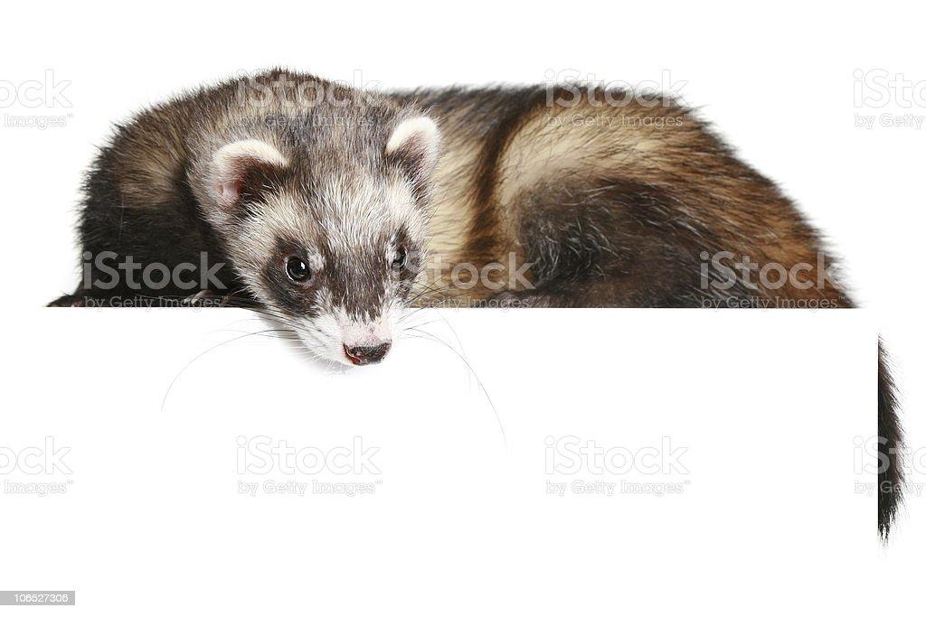 Ferret (Mustela putorius furo) stock photo